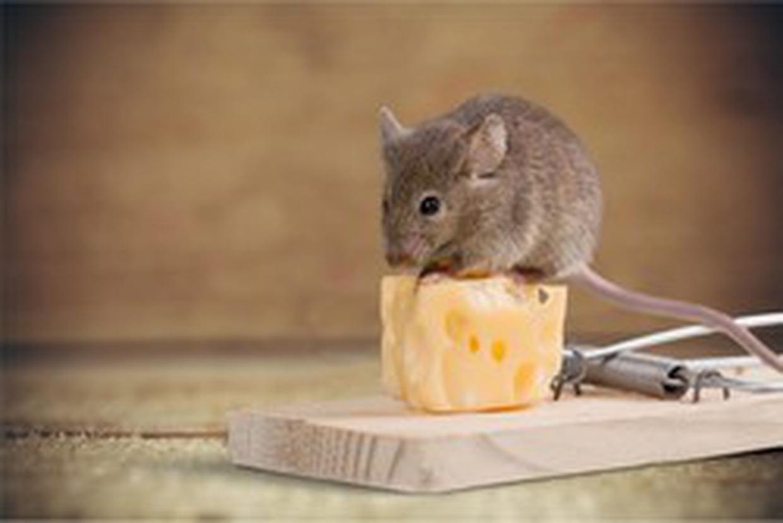 Qui dit crottes de souris dit souris chez vous?
